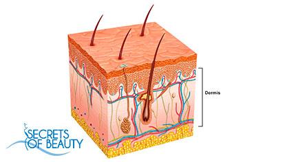 Второй слой кожи - дерма